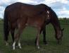 Et bilde av Shadar xx's avlsevne som ridehestforedler med føllet RR Pik King f. 2010 e. Tobajo Picez (1 uke gammelt).