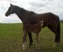 Et bilde av Shadar xx's avlsevne som ridehestforedler med føllet RR Pik King f. 2010 e. Tobajo Picez (1 dag gammelt).